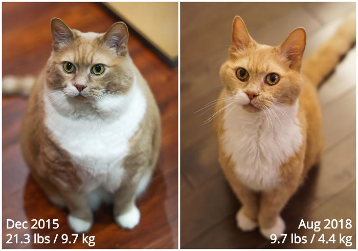 Adopted This Cute And (Very) Overweight Kitty A Few Years Ago, Put Him On A Diet And Now He's Less Than Half The Weight Of When I First Got Him!