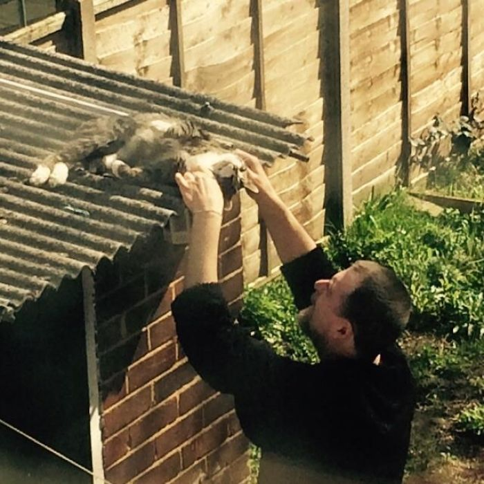 My Dad Always Hated Cats, Said We'd Never Have One. We Got A Kitten By Chance And They're Now Best Buds, Like He Would Literally Die For That Cat. Sleeps With Him And Everything. Here He Is Shuffling To The Edge Of The Shed Roof So My Dad (6ft 6) Can Give Him Scratches. Melts My Heart