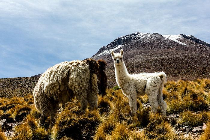 Icu – Bolivia