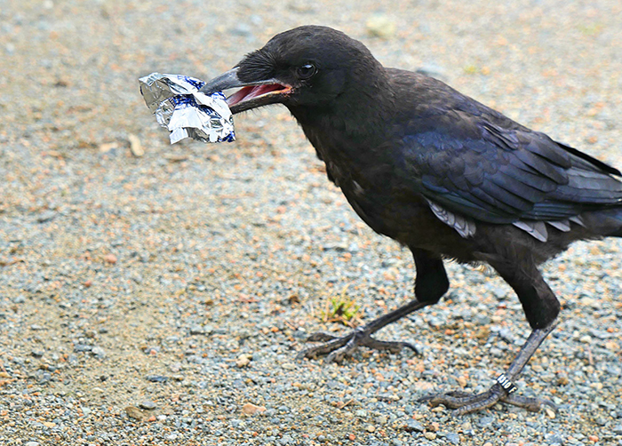 This French Theme Park Has 6 Crow 'Employees' Who Pick Up Trash