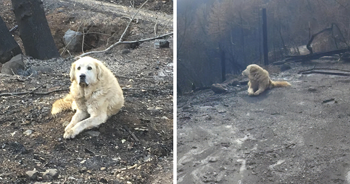 This Dog Who Survived A California Wildfire And Guarded His Home For A Month Gets Heartwarming Reunion