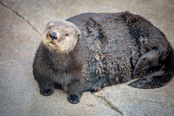 Aquarium Fat-Shames One Of Their Otters, Gets Instantly Murdered By Words