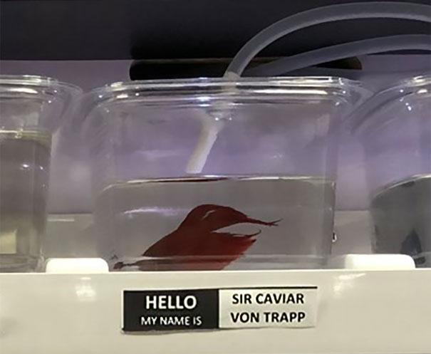 Sir Caviar Von Trapp
