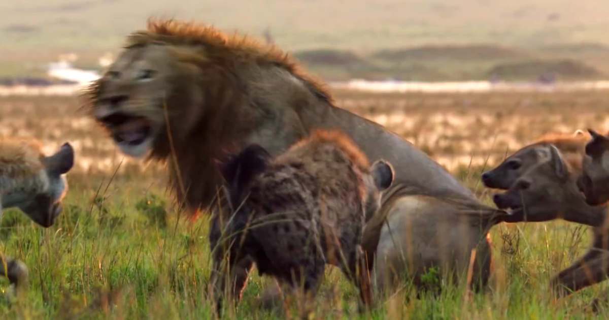 Lion Is Losing Fight Against 20 Hyenas, Bro Hears His Cries And Rushes To Save Him