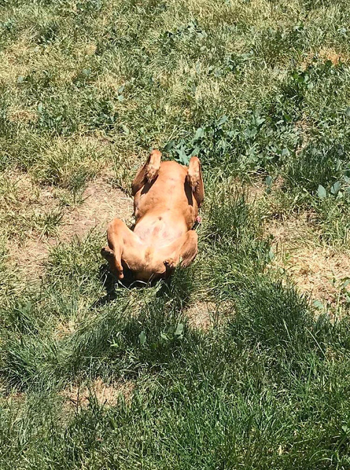 Too Hot Outside. My Dog Turned Into A Rotisserie Chicken