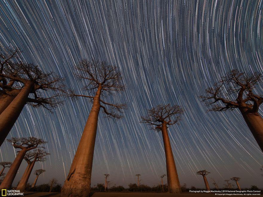 People's Choice: Van Gogh Baobabs, Maggie Machinsky