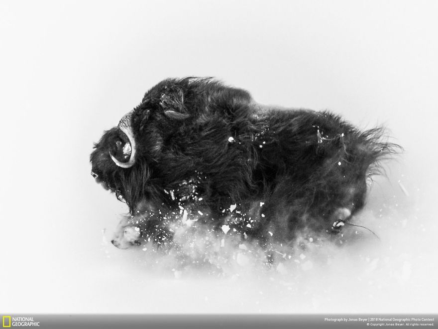 Second Place, Wildlife: Deep Snow, Jonas Beyer