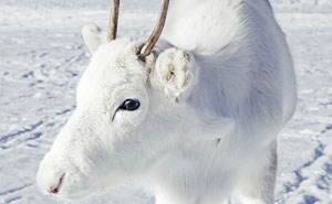 Photographer Captures Extremely Rare White Baby Reindeer While Hiking In Norway (6 Pics)