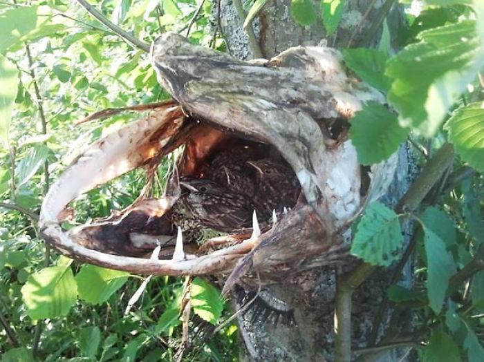 Pájaros usando la cabeza de un lucio muerto para anidar