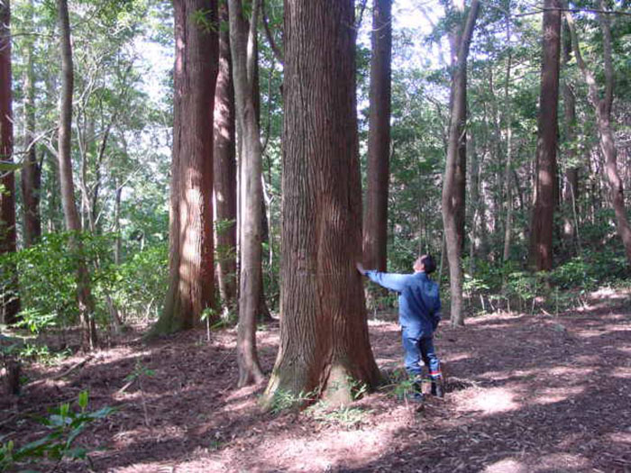 Japanese Experiment That Took Half A Century Ended In Amazing Tree 'Crop Circles'