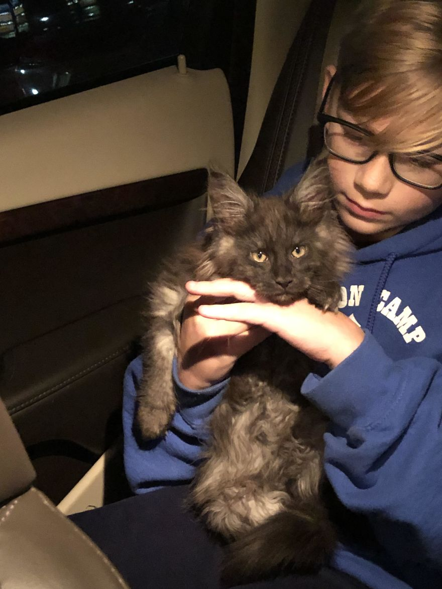 545325f612 We Finally Got Our Maine Coon Baby. Meet Hans Gruber. 12-Year-Old Boy For  Scale