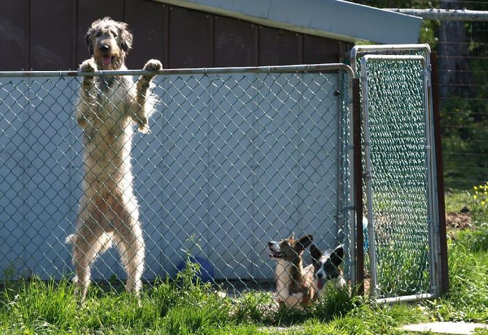 Irish Wolfhound And Corgis