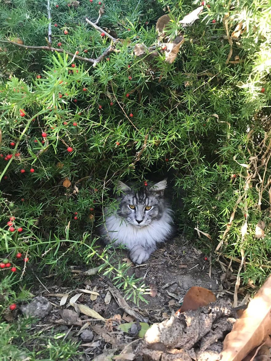 449b3d7701 90 Of The Cutest Maine Coon Kittens Ever - OkeZone