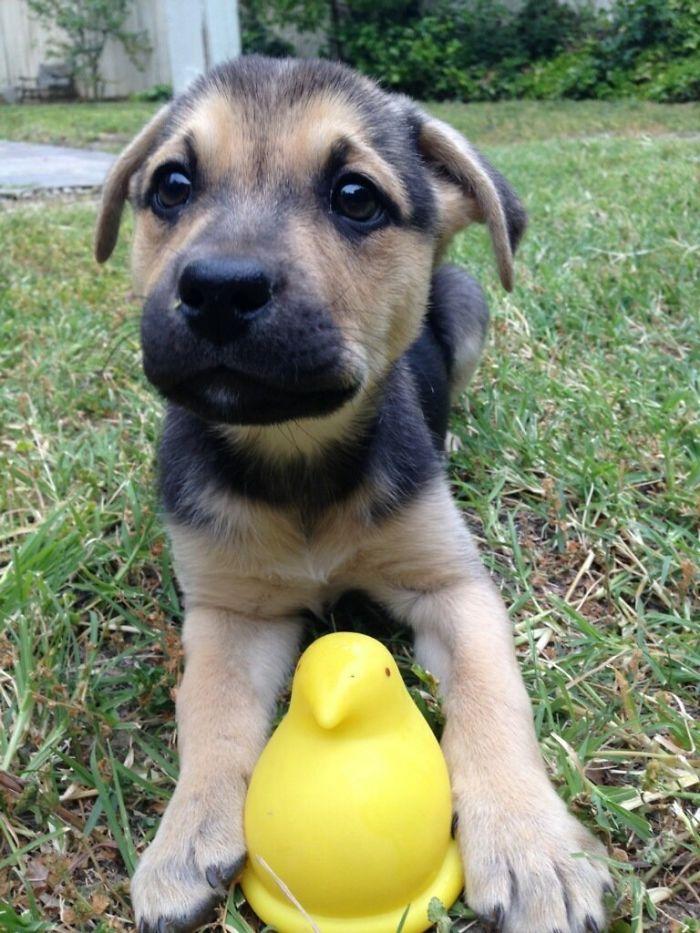 Meet My Mutt, Mabel. German Shepard And Boxer
