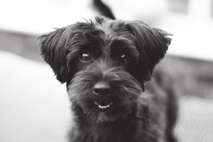 Yorkipoo (Yorkshire Terrier + Poodle)