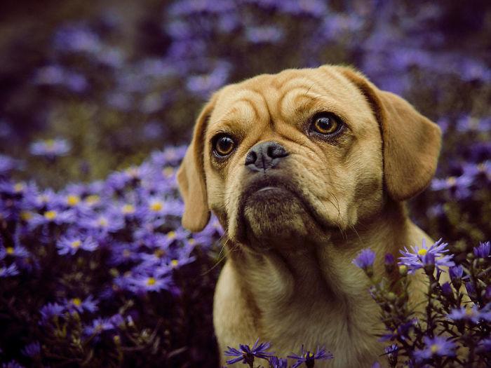 Puggle (Beagle + Pug)