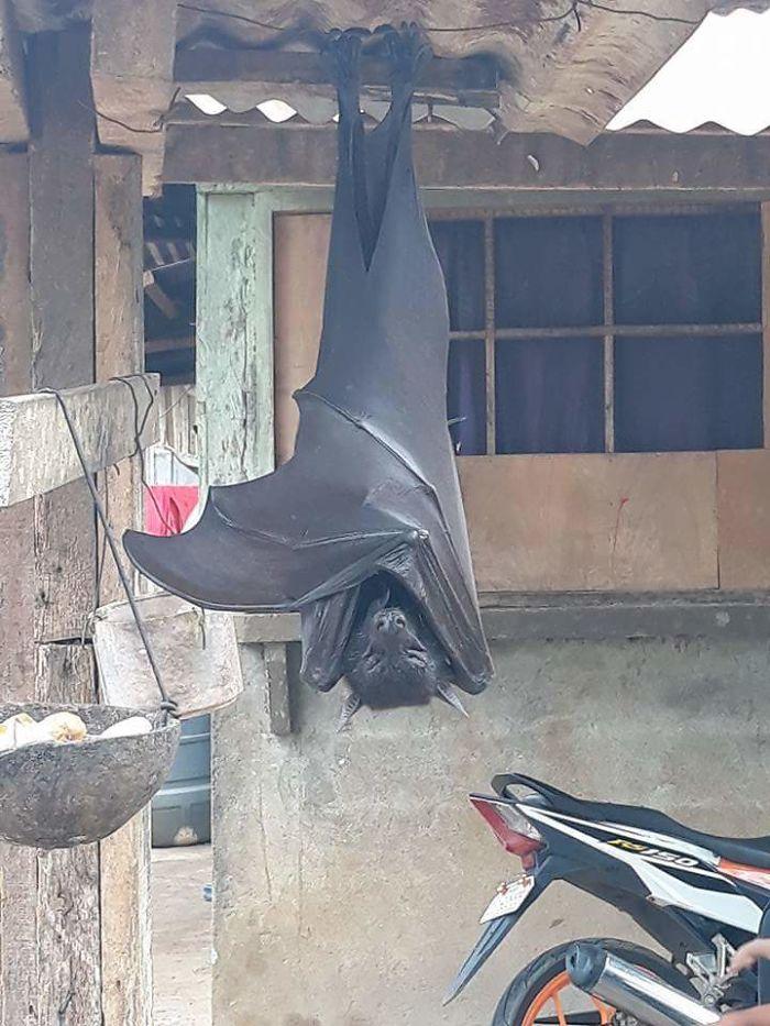 Cuando te encuentras un zorro volador en el jardín (Filipinas)