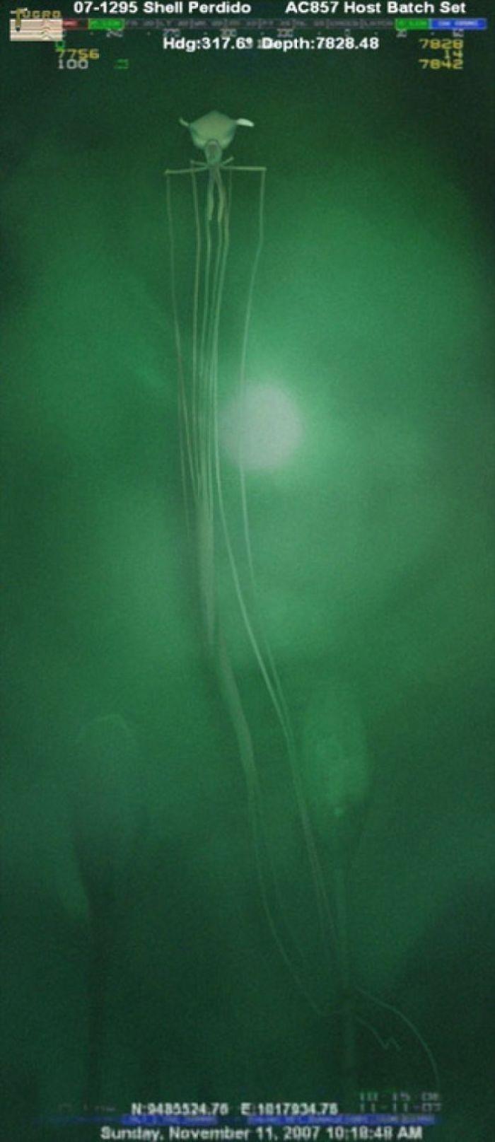 Calamar de las profundidades grabado en el Cañón Alaminos, a 2377 metros de profundidad