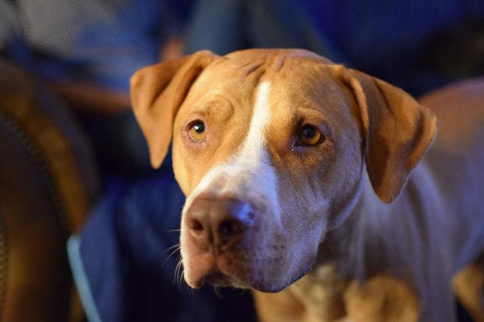 Labrabull (Labrador Retriever + American Pit Bull Terrier)