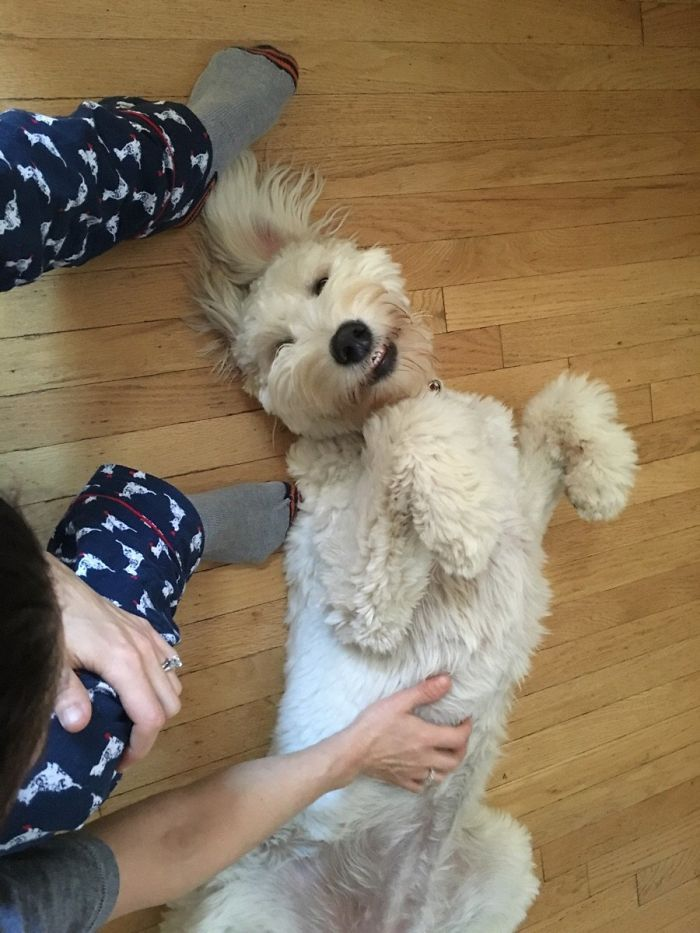 My Goldendoodle Smiling At Me
