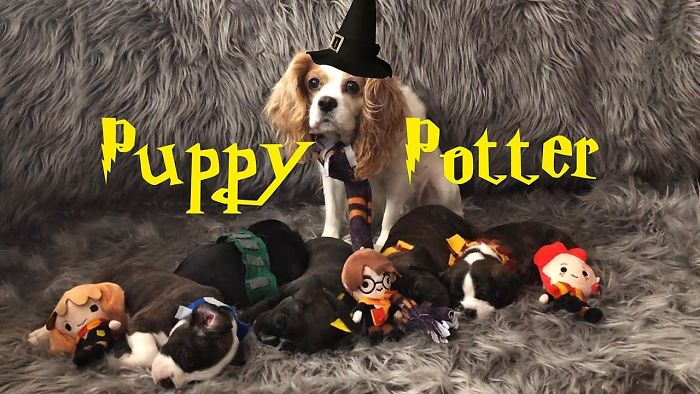 Puppy Potter| Watch Puppies Get Sorted Into Hogwarts Houses