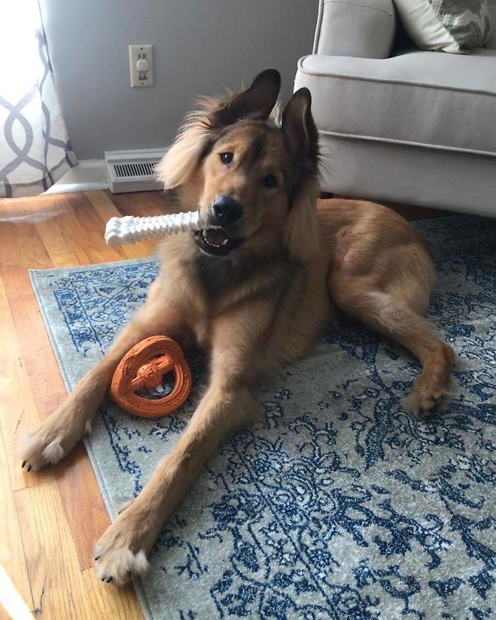 Shepherd Chow (Chow Chow + German Shepherd)