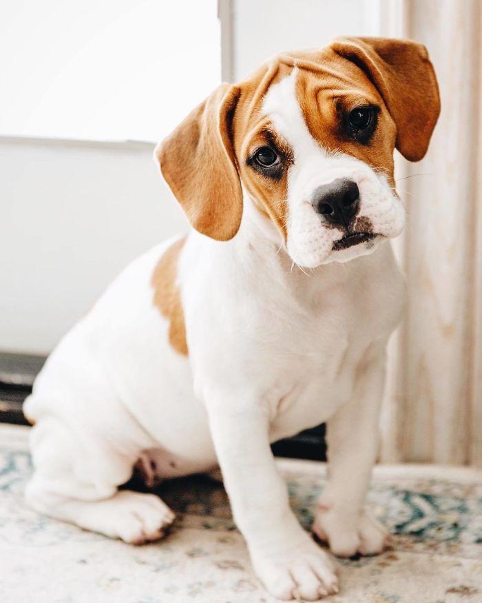 Beabull (Beagle + Bull Dog)