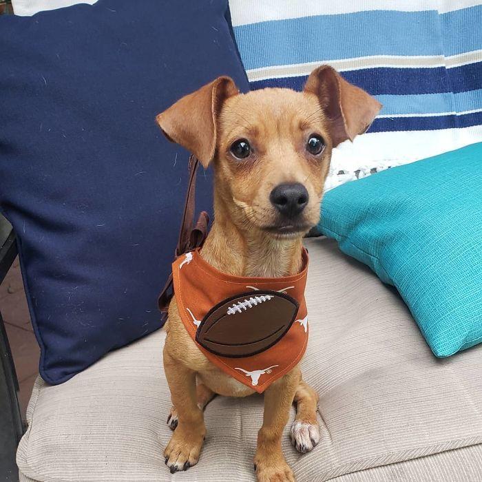 Chiweenie (Chihuahua + Dachschund)