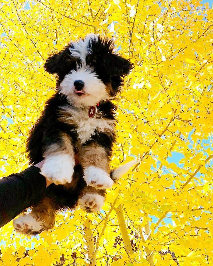 Bernedoodle (Saint Bernard + Poodle)