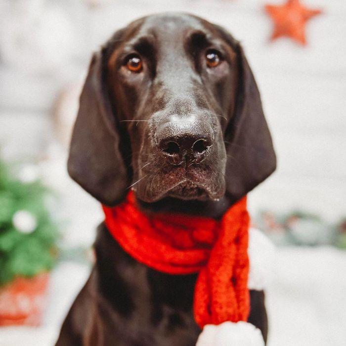 Labloodhound (Labrador Retriever And Bloodhound)
