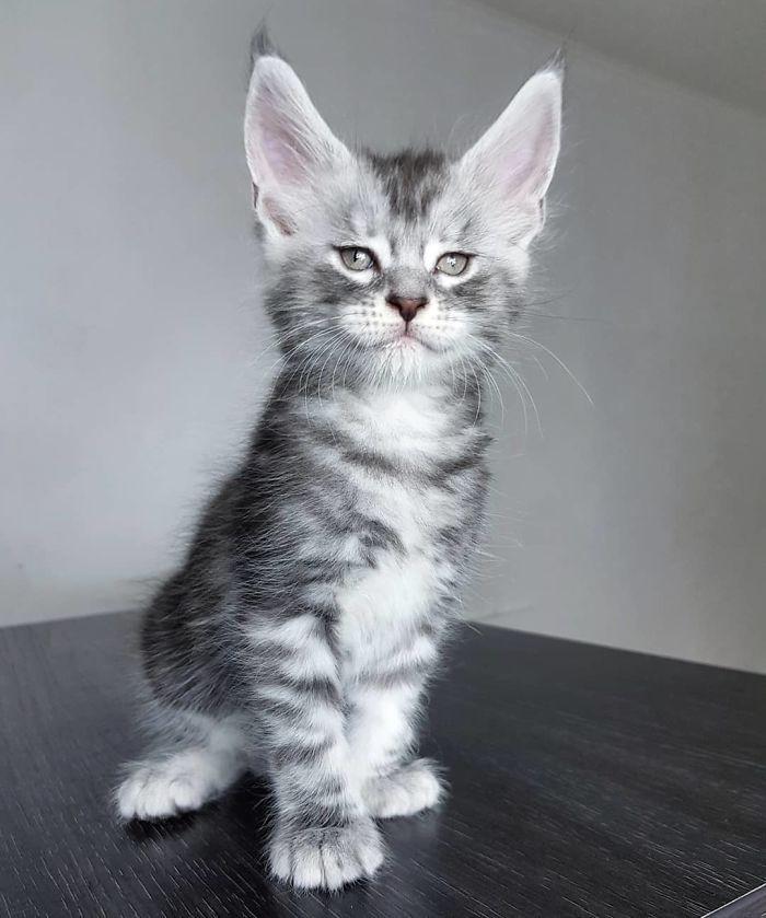 Figaro Palmiracoon Boy