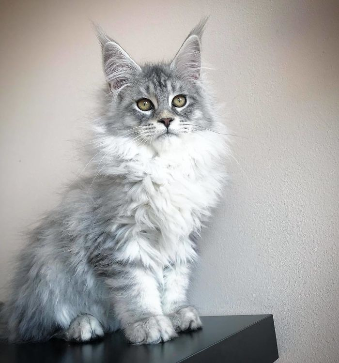 Our Beautiful 4 Months Old Silver Boy