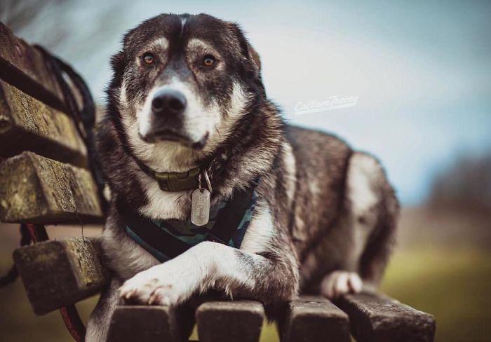 Malador (Alaskan Malamute + Labrador)