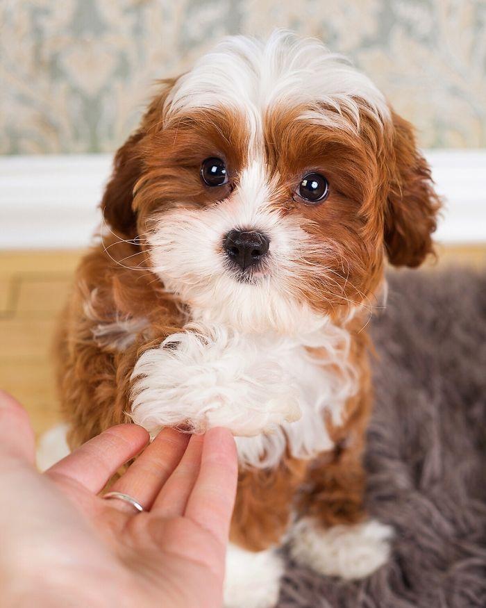 Cavapoo (Cavalier King Charles Spaniel + Poodle)