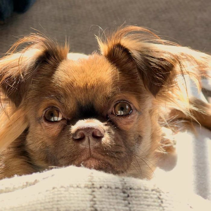 Chug (Chihuahua + Pug)