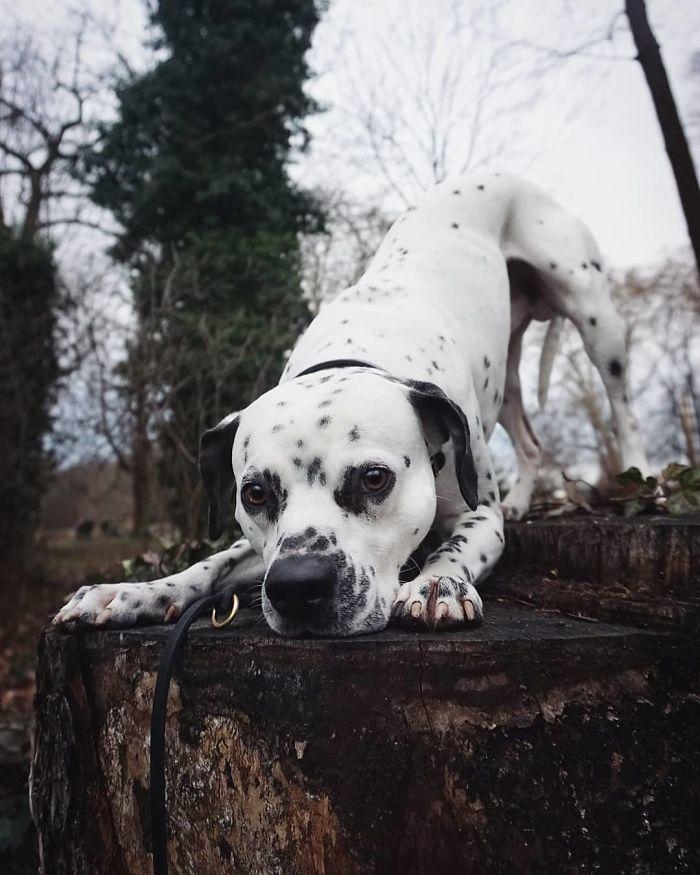 Bullmation (Bulldog + Dalmatian)