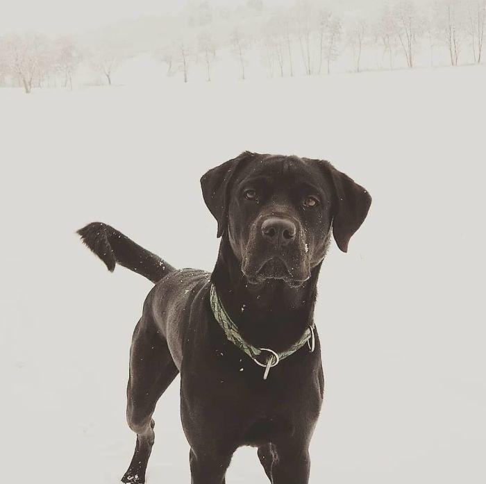 Labrottie (Labrador Retriever + Rottweiler)