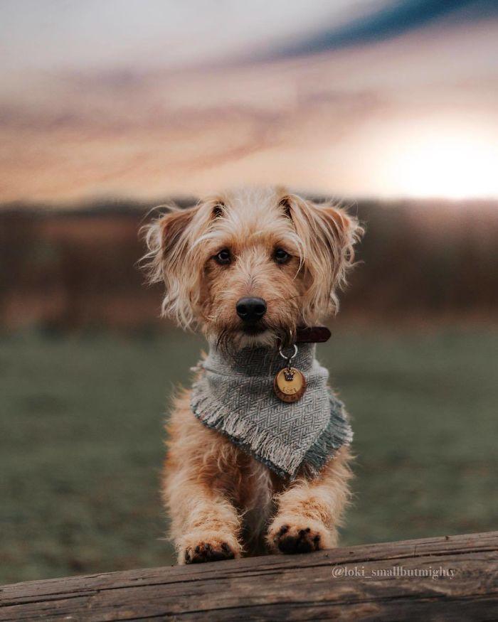 Jack-A-Poo (Jack Russell Terrier + Poodle)
