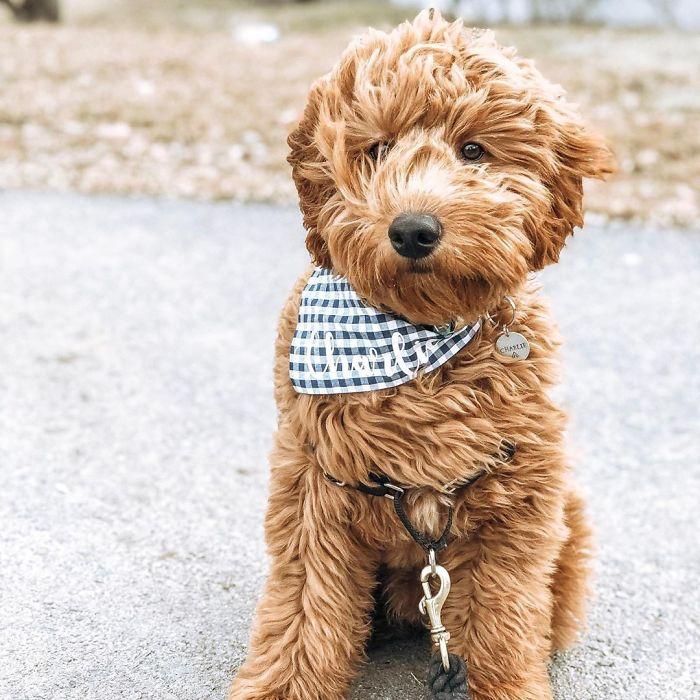 Goldendoodle (Golden Retriever + Poodle)