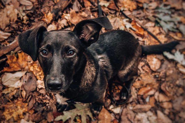 Corgidor (Labrador Retriever + Corgi)
