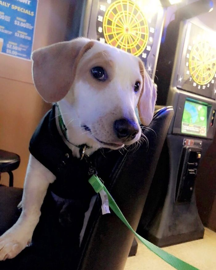 Basschshund (Basset Hound + Dachshund)