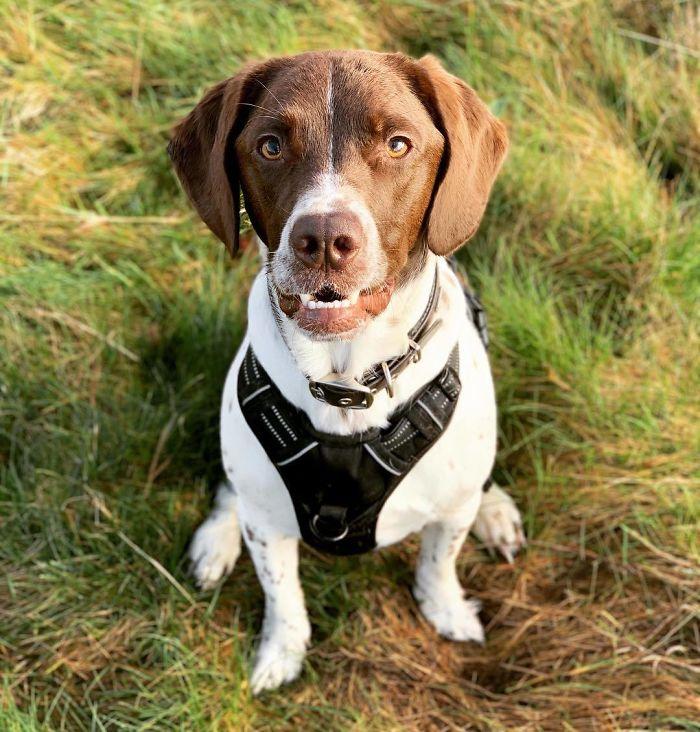 Labradinger (Labrador Retriever And English Springer Spaniel)