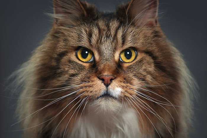Sheldon. The Maine Coon Cat