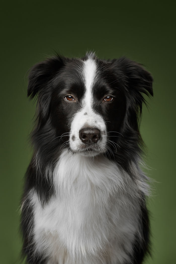 West, The Border Collie