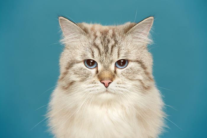 Prokhor, The Neva Masquerade Cat