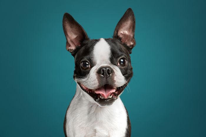 Phil, The Boston Terrier