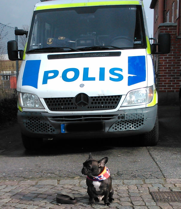 Fonzie-Bulldog-Police-5c2e263210b3b.jpg