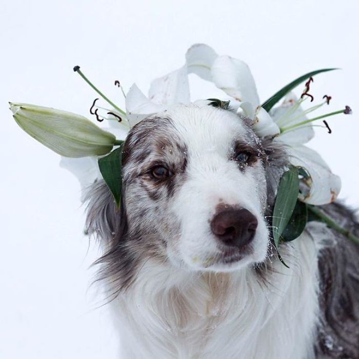 Fusion Says I Am Crazy For Making Him Sit With Lilies On His Head In The Snow