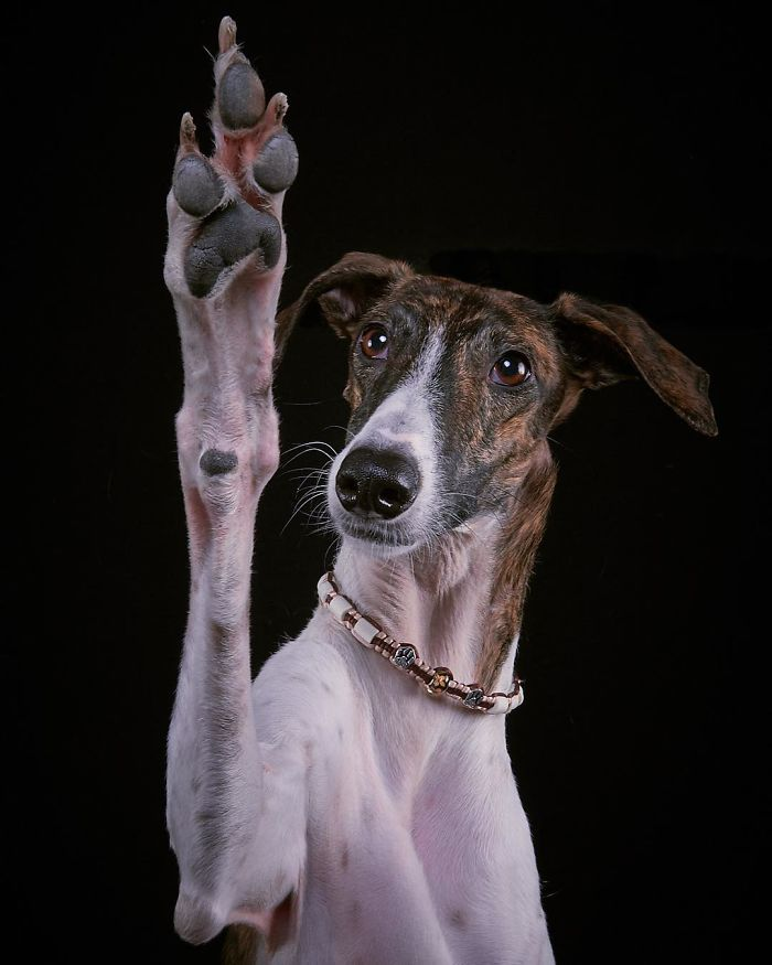 "I Capture The Spanish Hunting Dogs As They Enjoy Their Life In Freedom- For The ""Dia Del Galgo"" World Galgo Day On 1. February – World Day For The Spanish Hunting Dogs"