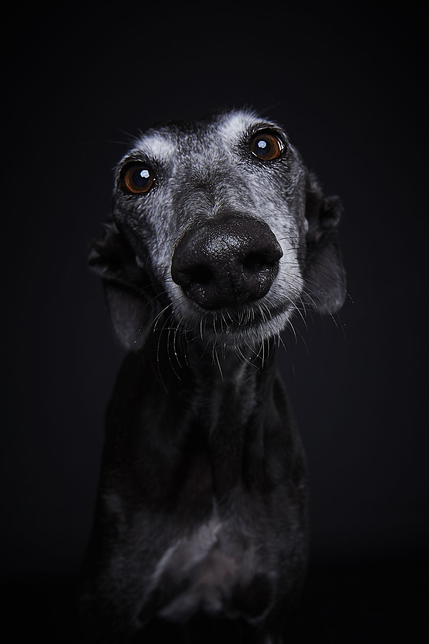 """I Capture The Spanish Hunting Dogs As They Enjoy Their Life In Freedom- For The """"Dia Del Galgo"""" World Galgo Day On 1. February - World Day For The Spanish Hunting Dogs"""